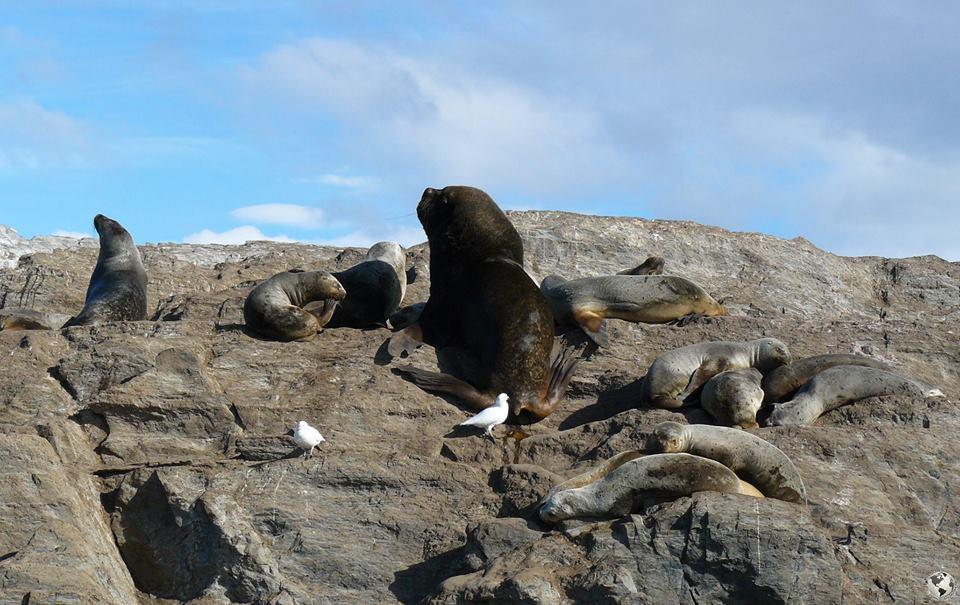 Leones marinos, Ushuaia
