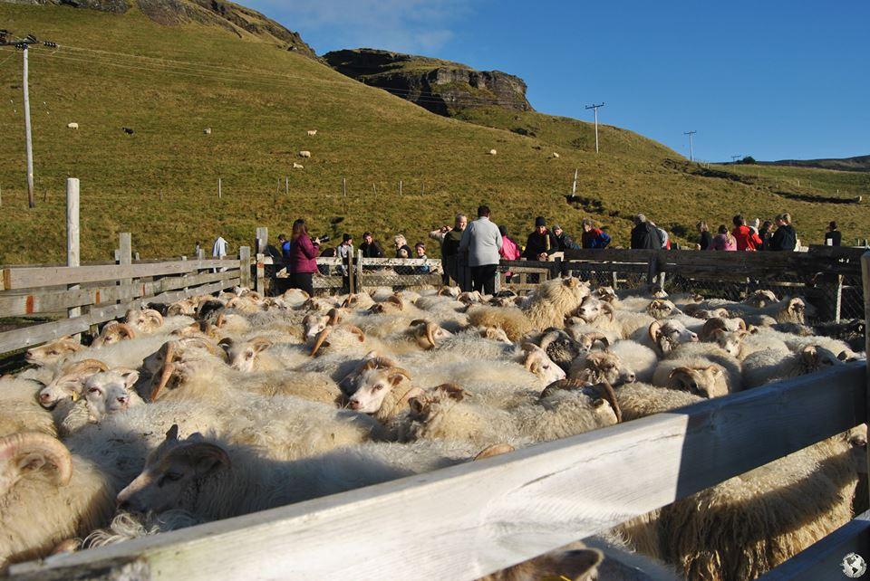 Oveja Islandesa