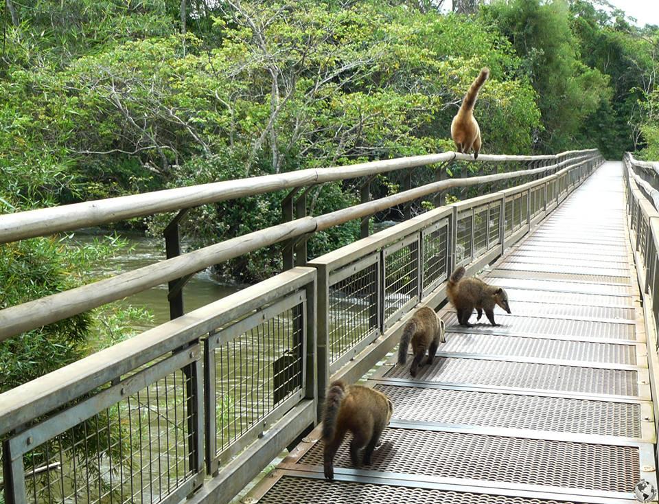 Coaties, Iguazú