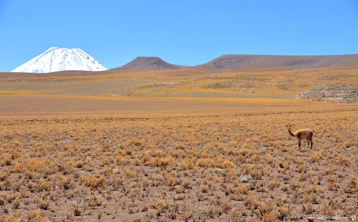 Vicuñas en el altiplano andino, Atacama. Chile