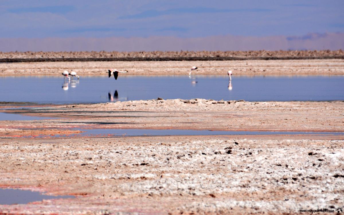 Laguna Chaxa, Atacama. Chile
